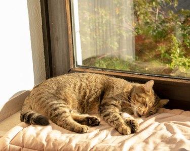 tabby domestic cat is sleeping on the windowsill