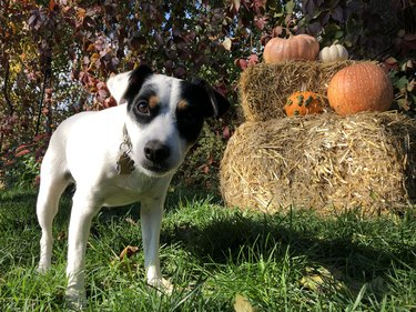 Cute thanskgiving and Halloween dog in garden with outdoor pumpkin decorations on hay stack