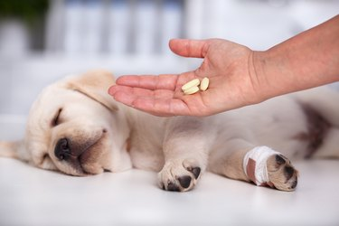 Veterinary care professional hand with medication for a cute labrador puppy dog