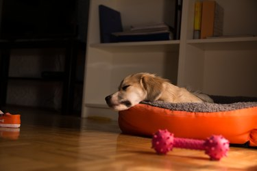 Little dog sleeping in his dog bed