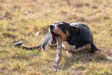 dog chewing on a stick.