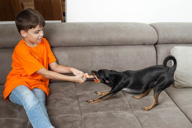 Little boy, 8-9 years, and miniature pinscher chihuahua dog pulling a braided chew toy