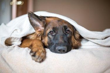 Cute German Shepherd in a blanket on bed.