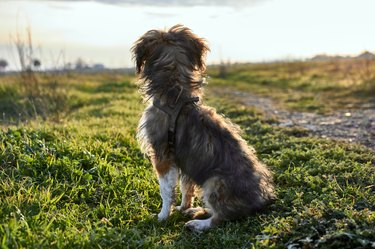 dog looking out over a field