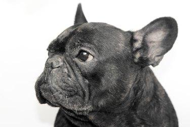Portrait of black french bulldog with white background