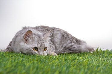 Young tabby cat lying on green grass. White isolated background