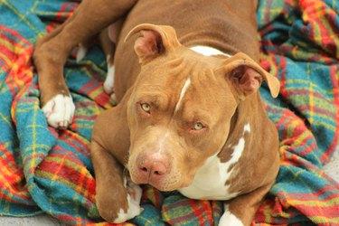 Pitbull looking skeptical on blanket
