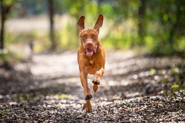 Vizsla dog running through trees