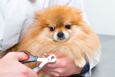 The veterinarian cuts the claws of a fluffy puppy.