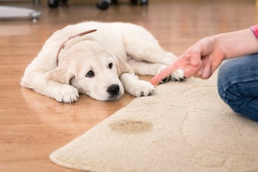 house training of puppy
