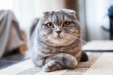 Lovable Scottish Fold Cat