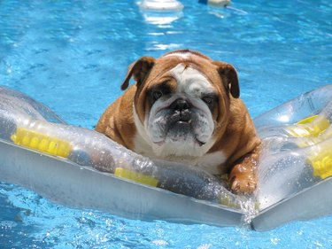 Pet bull dog in swimming pool on family vacation