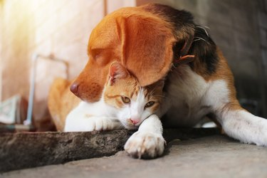 Beagle dog and brown cat.