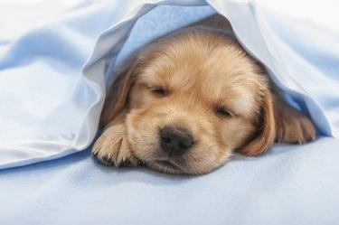 Golden Retriever puppy sleeping under a blue blanket- 4 weeks old