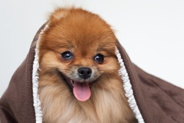 Young purebred Pomeranian wrapped in a brown blanket.