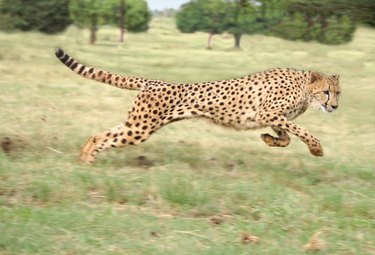Cheetah at full stride