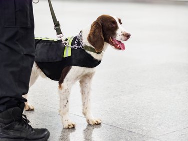 Springer explosive detection dog with chains in subway,  working dog, bomb-sniffing dog.