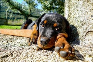 Rottweiler puppy portrait in the garden in a sunny summer day