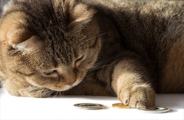 A cat counts gold and silver coins. A rich cat