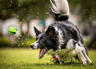 Dog running after ball in grass