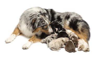 Mother Australian Shepherd with its 7 day old puppies suckling