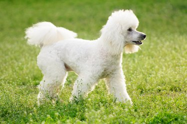 White poodle dog on green grass  field