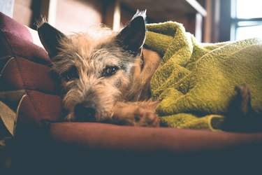 Sleepy cute cold dog wrapped in blanket in Winter