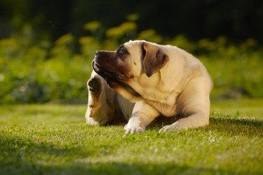 Mastiff in garden scratching