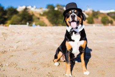 Dog wearing tuxedo costume on beach