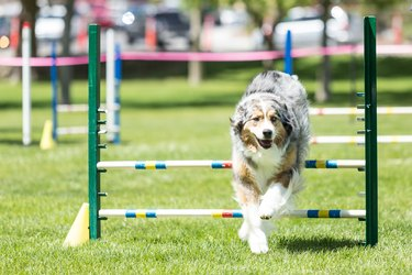 Dog in an agility competition