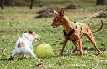 Pharaoh Hound dog attacks small Jack Russell Terrier dog