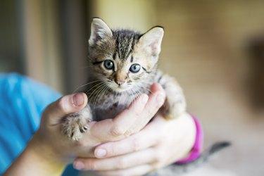 Kitten in humans hands