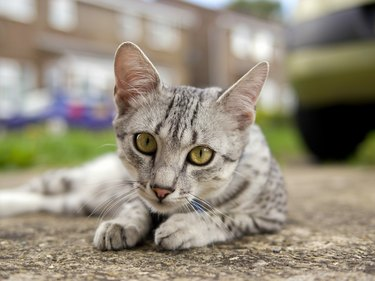 Egyptian Mau cat in street