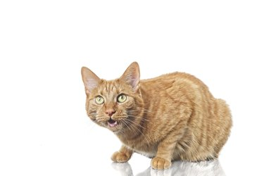 Angry ginger domestic cat against white background