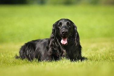 Purebred flat-coated retriever dog