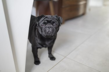 A black pug dog looking towards the camera, with room for text