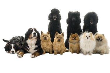 Group or pack of ten dogs sitting and lying down looking at the camera seen from the front with king poodle, bernese mountain dog, norwich terrier and pommerian dogs isolated on a white background
