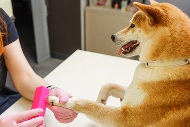 A beautician treats Shiba Inu dogs nails