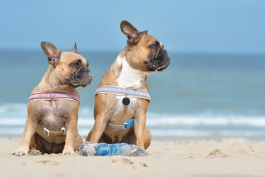 French Buldogs at beach