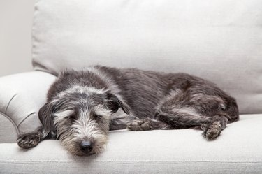 Sleeping Dog on Neutral Grey Color Couch