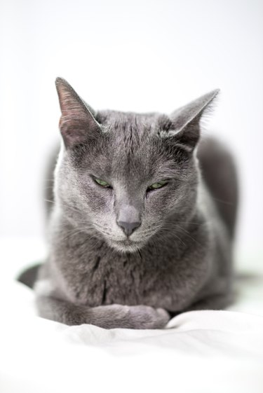 Russian blue cat resting on bed