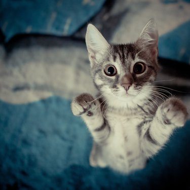 Kitten stands with her paws up.