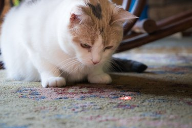 Calico Cat Staring Down Laser