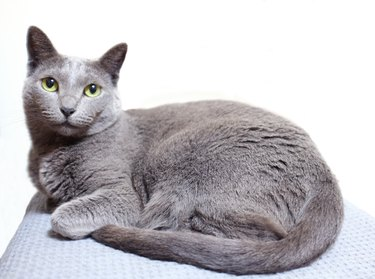 a russianblue cat