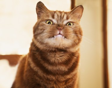 British shorthair cat with fangs out