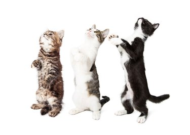 Three Cute Kittens Standing and Begging