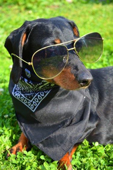 dachshund with sunglasses