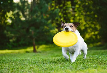 Adult dog playing catch and fetch with yellow frisbee