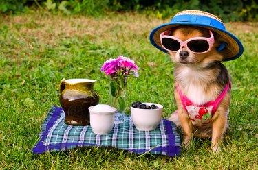 Chihuahua dog at the picnic