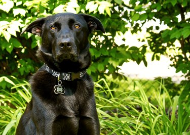 Black mixed-breed German Shepherd posing with silly face